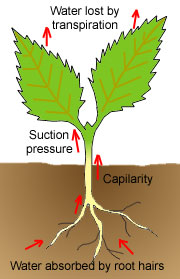 transpiration rates in plants Transpiration introduction transpiration is the evaporation of water into the atmosphere from the leaves and stems of plants plants.